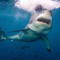 Shark vs shark in wild drone footage