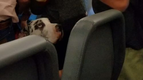 Couple's service dog - a Great Dane - sparked the heated argument (ABC AMERICA)