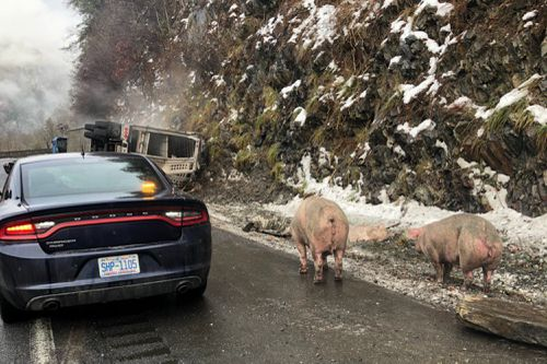 A livestock truck carrying pigs overturned on Interstate 40 westbound near the Tennessee line causing traffic chaos.