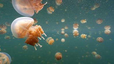 Palau's Jellyfish Lake reopens as thousands of jellyfish