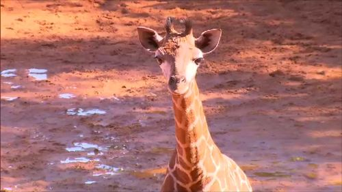 The gorgeous calf is yet to be named. (9NEWS)