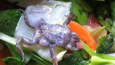 But not all frogs are that tough. This one's fibre-filled home became its tomb.