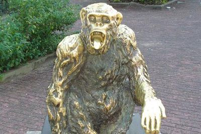 <p>Tiao the chimp</p>
