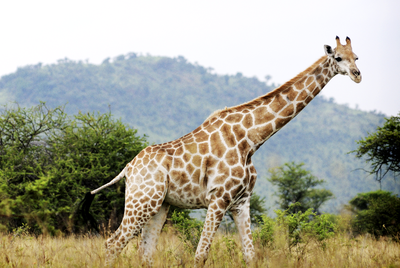 Giraffes have excellent vision