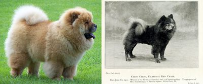 <strong>Chow chow</strong>