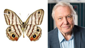 Attenborough's Blackeyed-Satyr. (ZooKeys/AAP)