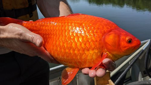 Dumped pet goldfish can grow to enormous sizes and wreak havoc on local waterways.