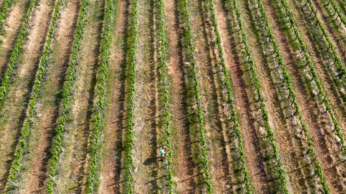 Although it appears green, the soil beneath the vineyards of the Hunter Valley are dryer than ever after four years of drought.