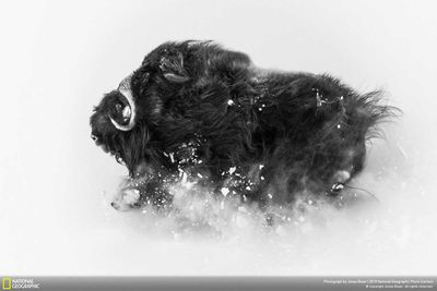Second Place, Wildlife: Deep snow