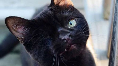 Pirate cat takes off on social media after being adopted from an animal shelter