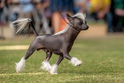 Best in Group (Toy): Chinese crested