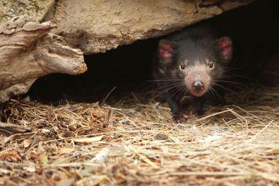 <strong>Help save endangered&nbsp;Tasmanian devils</strong>