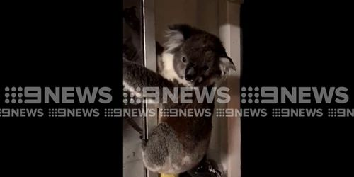 The friendly marsupial hung around for a few hours. (9NEWS)