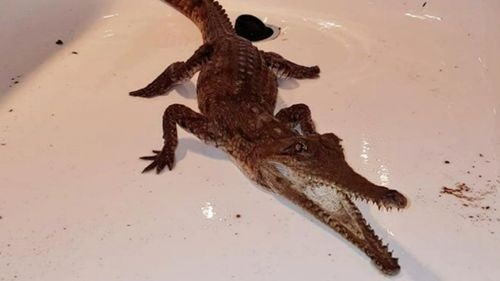 The reptile measures 80cm long. (9NEWS)