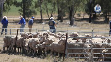 Almost 100 head of sheep were seized as part of the search warrant.