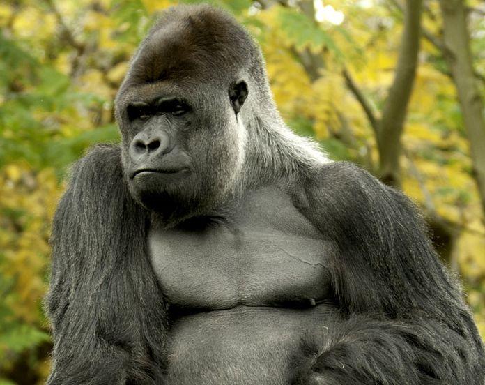 how gorillas maintain muscle mass on vegetarian diet