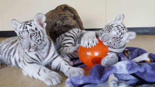 White tiger cubs arrive on Gold Coast