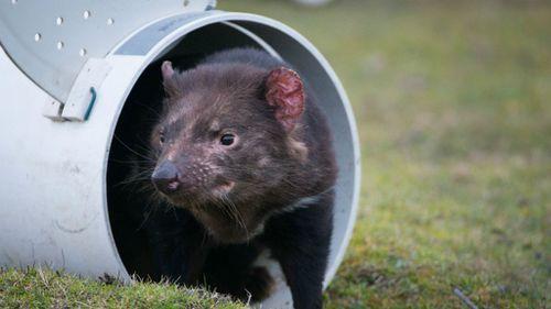 Tasmanian devils face new battleground in wild