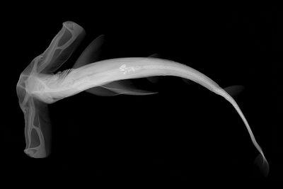 Winghead shark (Eusphyra blochii)