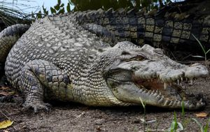 Australian crocodiles may be behind spike in Timor-Leste attacks