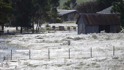 A farm paddock in Wagga Wagga is covered in a blanket of spider silk. <i>(Source: AAP)</i>