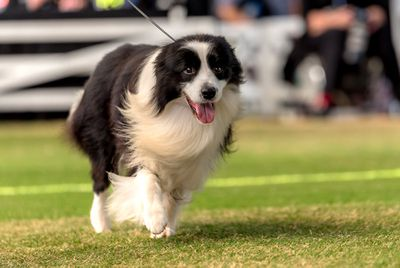 Best in Group (Working dog): Border collie