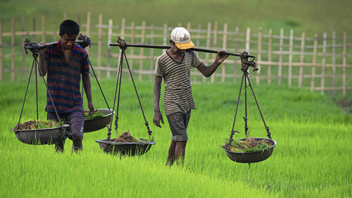 Indian farmers carry saplings in a paddy field in Hohora village, outskirts of Gauhati, India, Sunday, June 14, 2020. (AP Photo/Anupam Nath)