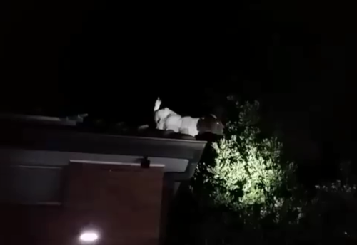 Rescuers were baffled after being confronted by a goat that had made it on to the roof of a Sydney home. (NSW Fire and Rescue)