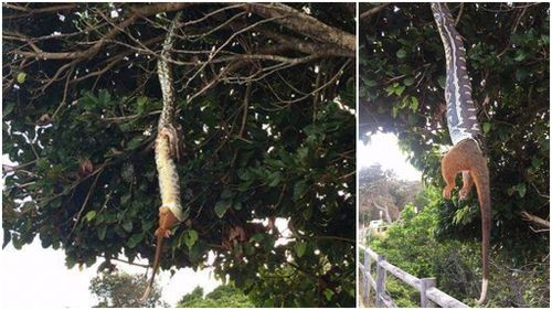 Hungry python stuns Byron Bay crowd by swallowing entire possum