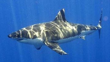 Great whites are believed to be responsible for a number of attacks along the NSW coast this year. (AAP)