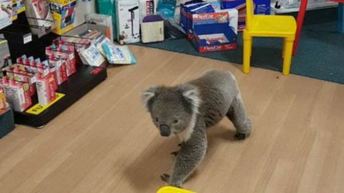 The koala's big day out was shared to Facebook. (Tocumwal Pharmacy)