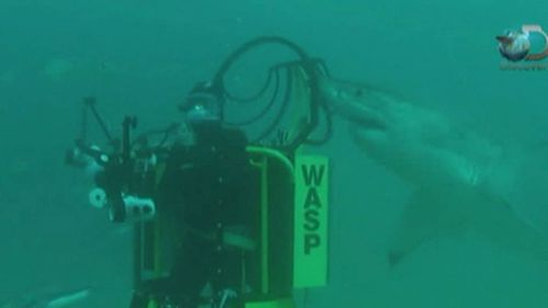 A diver is approached by a shark as he films with the lid of the W.A.S.P cage off