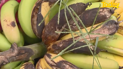 Bananas are seen rotting on the ground after the heavy rain.