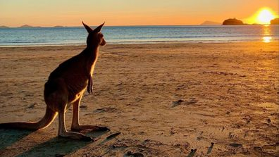 A kangaroo watches the sunrise over Cape Hillsborough Nature Tourist Park.