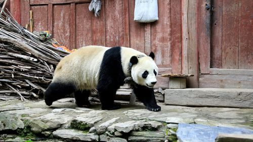 The panda was first spotted wandering among houses in Wenchuan county on Thursday, seemingly in search of food. Picture: AP