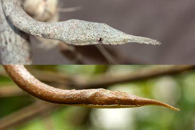 Leaf-nosed snake