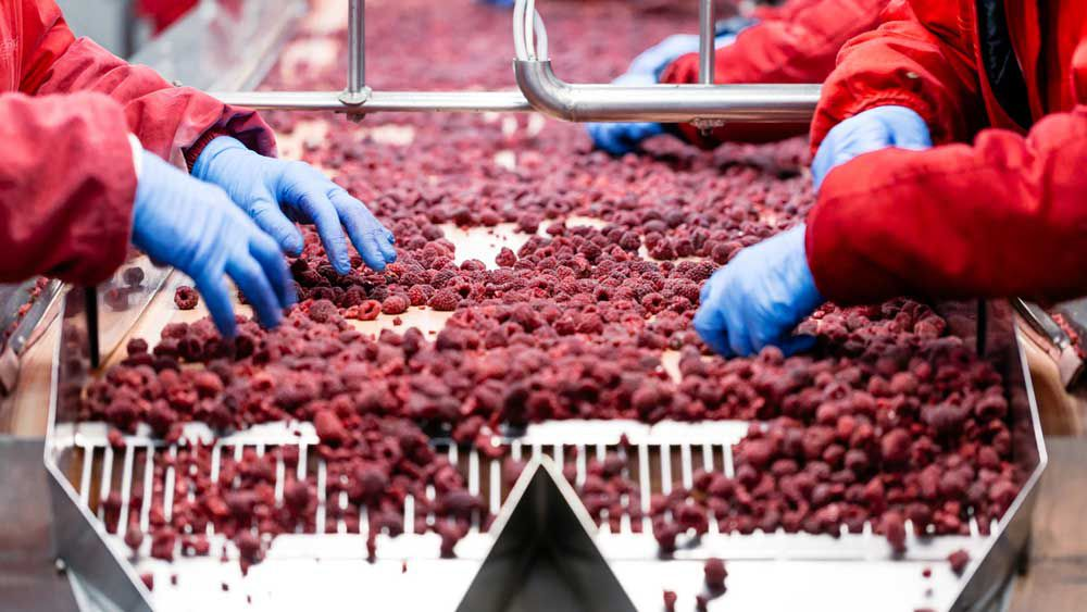 Frozen berries in production