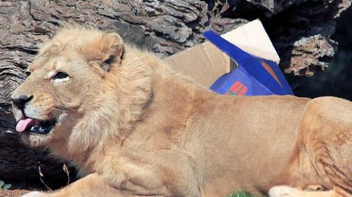 Beloved elderly lion euthanised at Victorian zoo