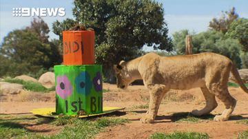 Lion cubs celebrate first birthday with party piñata