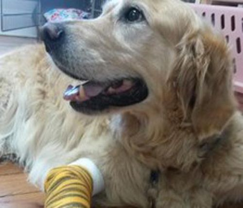 He and owner Audrey Stone are both recovering well. (Middlebranch Veterinary Hospital)