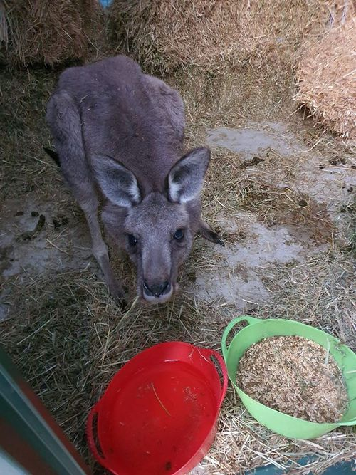 """The kangaroo made a """"miraculous recovery"""" despite her heavy fall."""