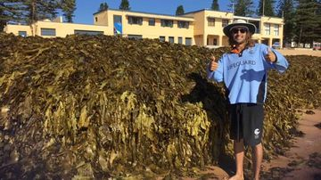 Behemoth mountain of seaweed shuts down Sydney beach