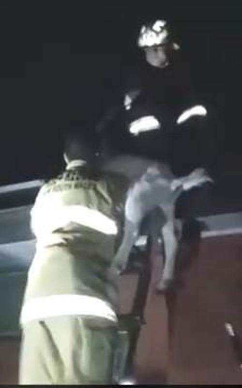 Fire and Rescue operatives were able to get the goat down without too much struggle. (NSW Fire and Rescue)