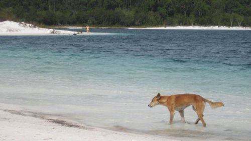 A boy and woman have been attacked by a dingo on Fraser Island (file photo)