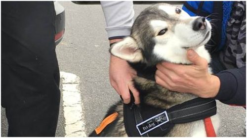 Stolen husky reunited with owner in Melbourne's south-east