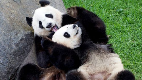 Giant pandas, Wang Wang and Fu Ni at Adelaide Zoo.