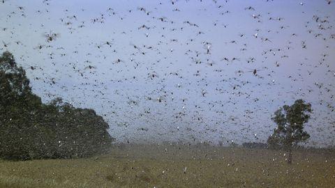 locusts swarming