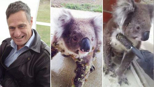 Koala allows man to gently brush burrs from its fur