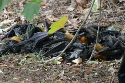 2,300 flying foxes have died as a result of last week's heatwave.
