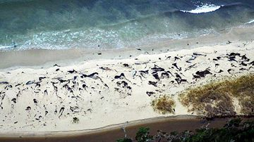 Dead whales found in the Chilean Patagonia seashore, near the port of Aysen. (AFP)